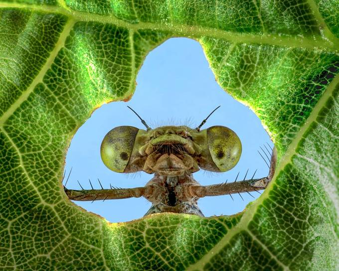 Peeking Damselfly by Lpepz - Macro Monsters Photo Contest