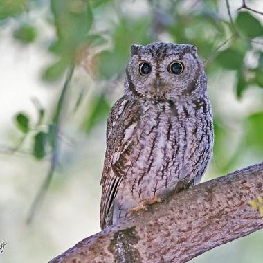 Western Screech Owl DSC09419