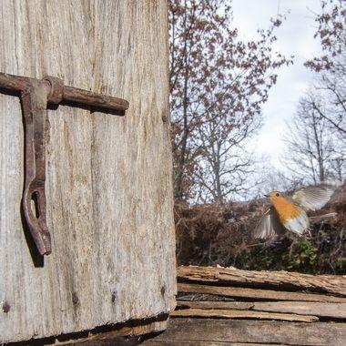 Petirrojo (Robin) a la puerta de la cabaña en la que suelo fotografiar diferentes especies del monte mediterraneo. Sierra de Francia (Spain)