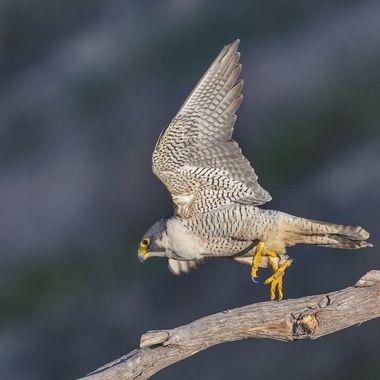 Peregrine Falcon DSC08583