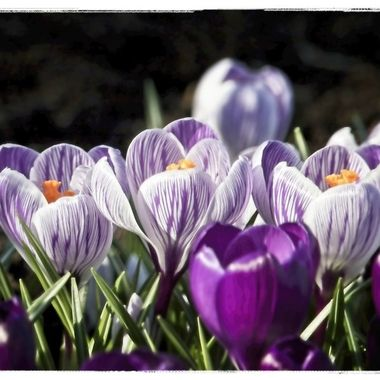 Spring is getting close. The Crocuses are in bloom and the tulips won't be far behind...