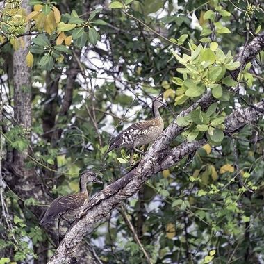Camouflaged - The Daintree River Wetlands (2)