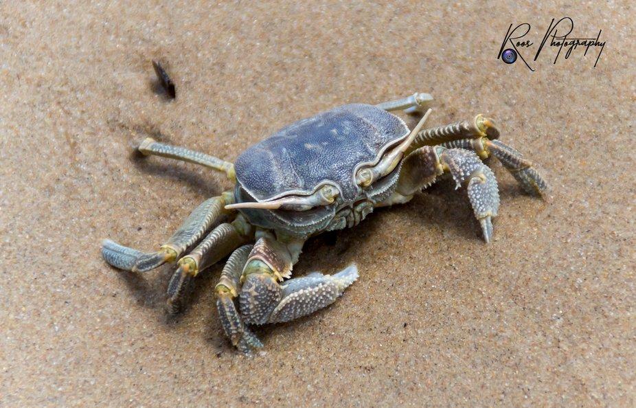 Photo of a sea crab at the Portuguese Island Feb 2020