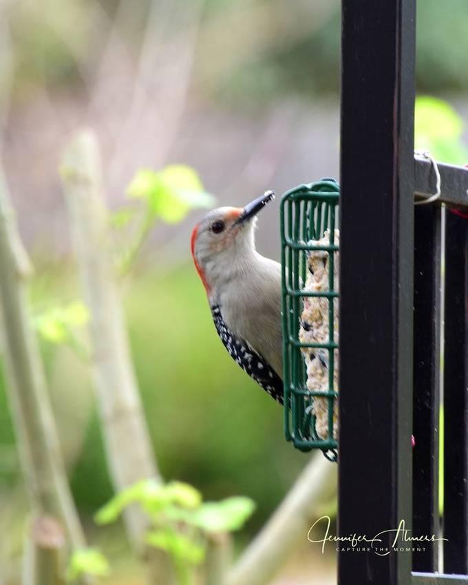 Woodpecker on Suet Block