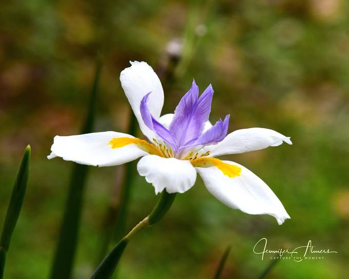 Walking Stick Iris