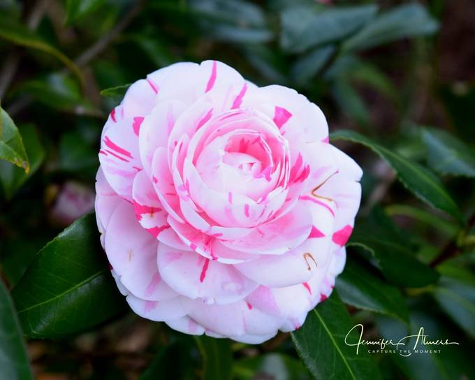 La Peppermint Camellia 4