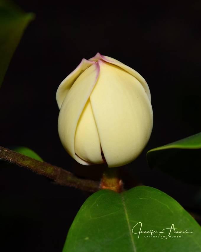 Banana Shrub Blossom
