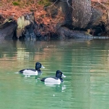 A pair of Ring Necked Duck swimming on our backyard pond.  DSC_0970
