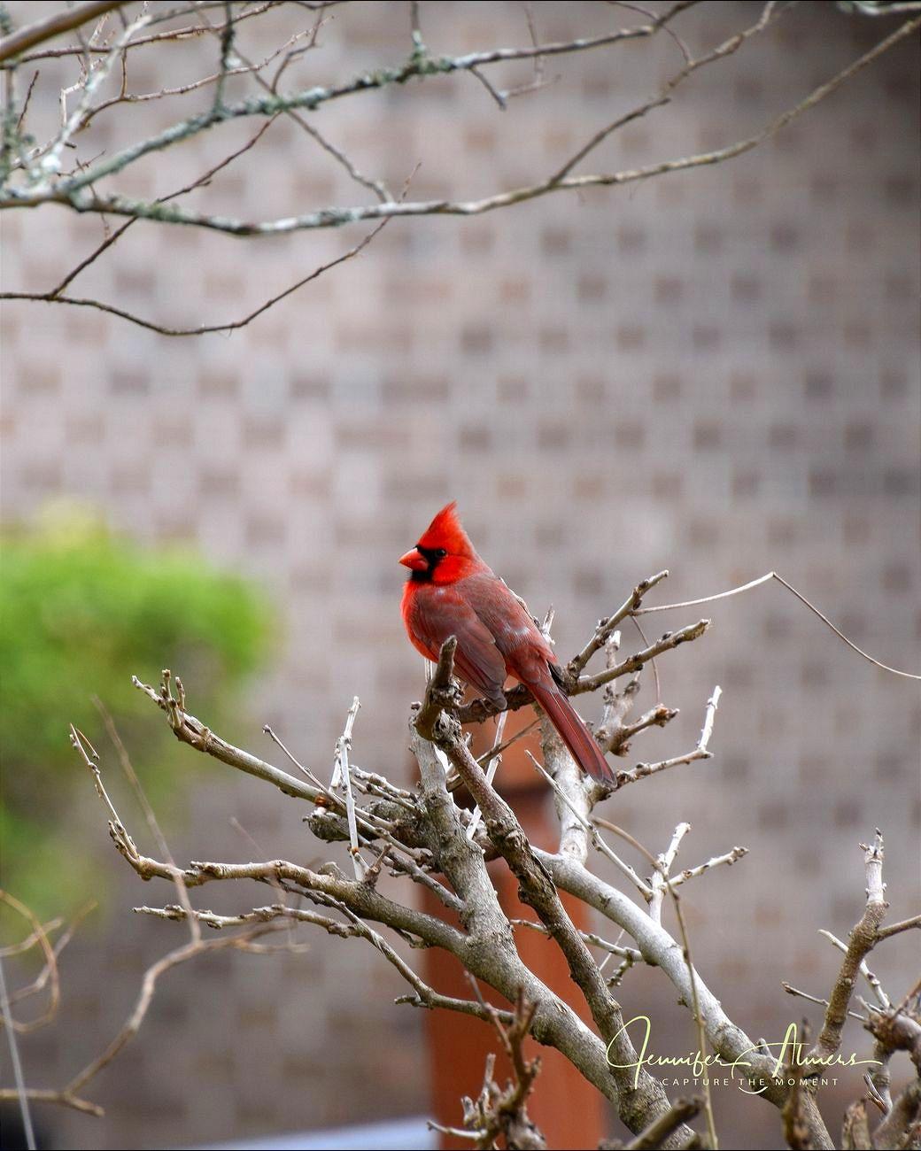 Cardinal on Wisteria 2