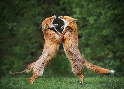 Fighting Foxes - Edit