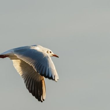 This seagull flew over the beach at Sankt Peter-Ording in late afternoon.