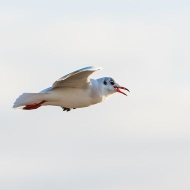This seagull circled over the beach in search of a good meal