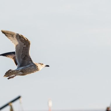 Shot taken during late afternoon on the beach at Sankt Peter-Ording. The late sun is casting its light on the bird.