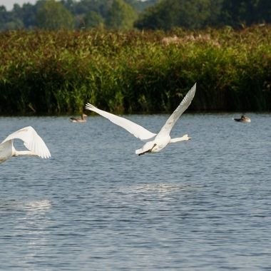 Two mute swans flying over water, shot was taken out of a hide in a nature reserve