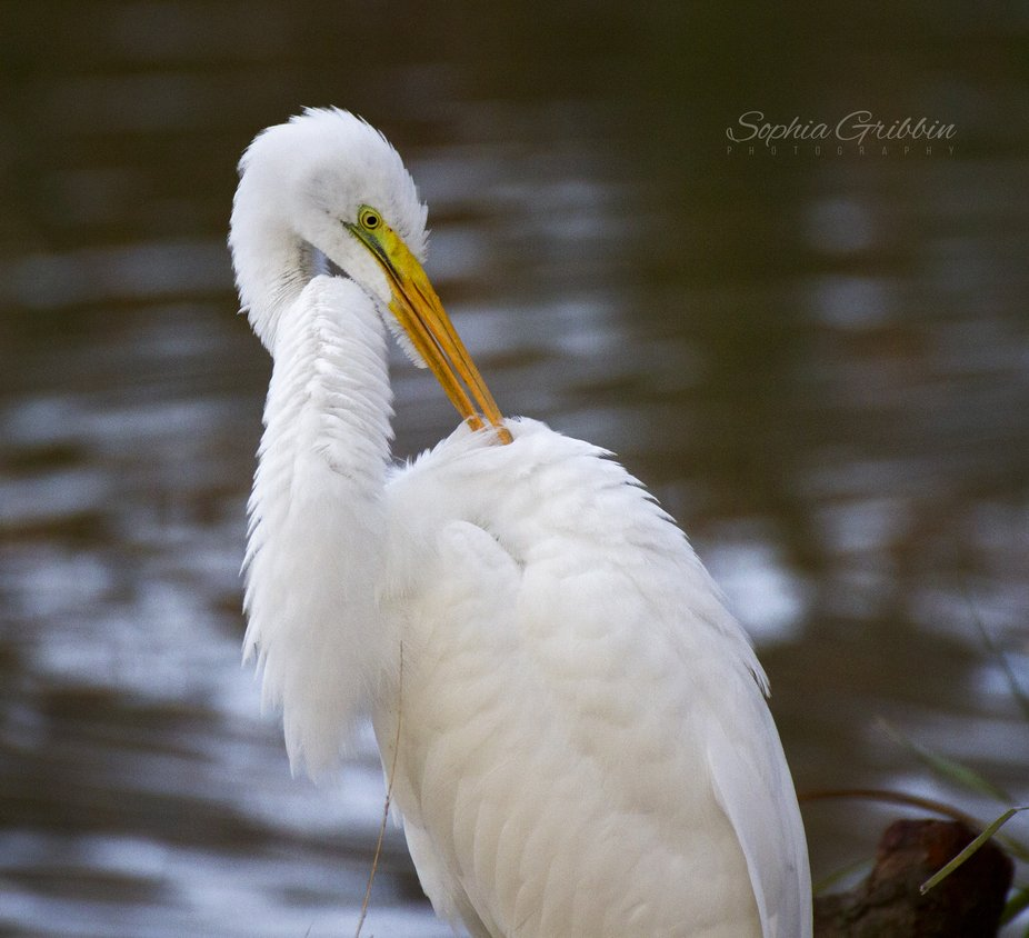 Great Egret preening on the bank of a pond in Ocala, FL.