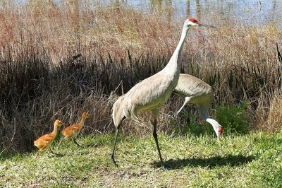 Sandhill cranes and their new chicks