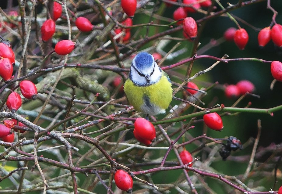 Blue tit with rose hips