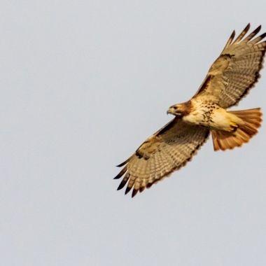 Mature Red-tailed Hawk circling over fallow field near sundown.  DSC_1025-2