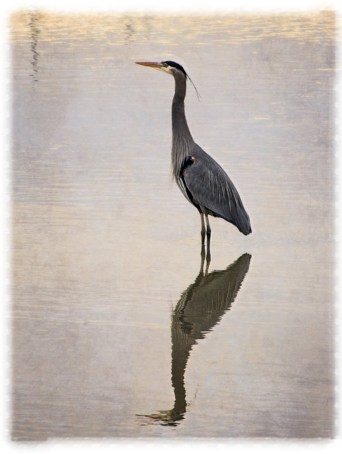 A heron stands tall in the waters of Wylie Slough in the Skagit Valley of Washington.