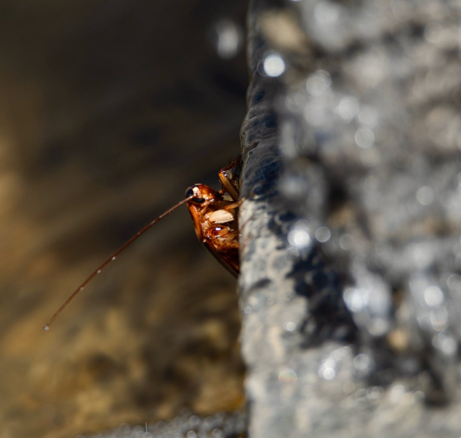 Cockroach Bathing