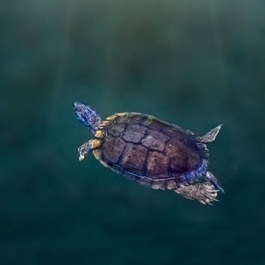 Swimming Turtle NW