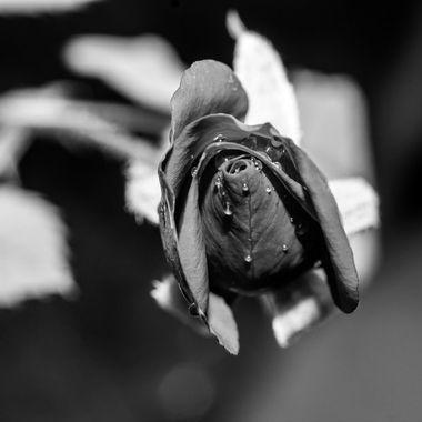 bw rose pu-6396