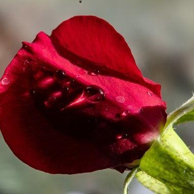rose-6414