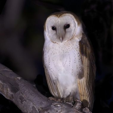 Barn Owl DSC09746