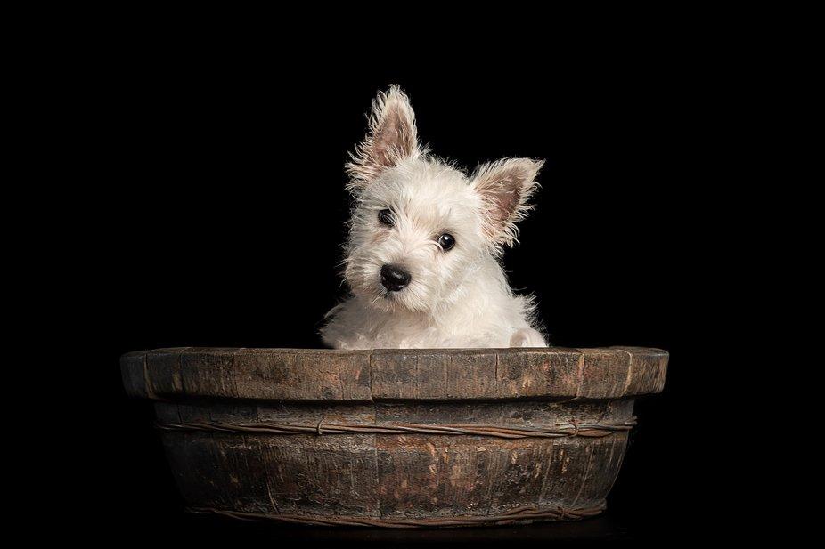Little Dani a Westie puppy - loved my lens!