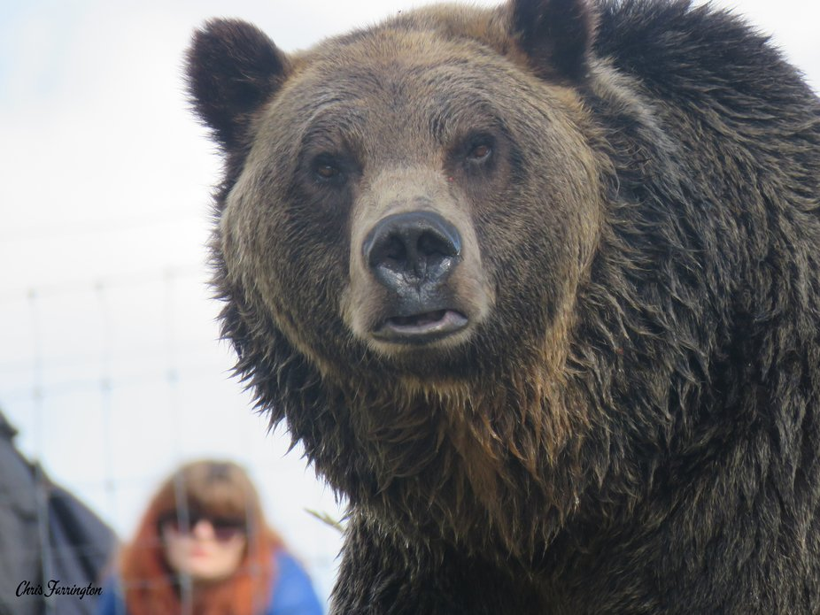 Grizzly, Grouse Mountain