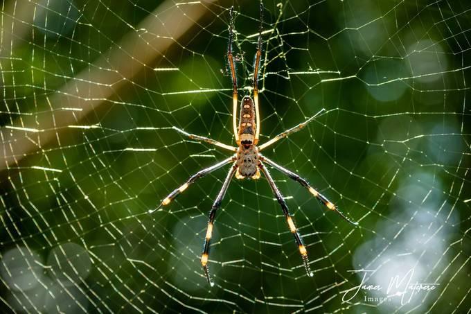 Golden Orb Spider 2020