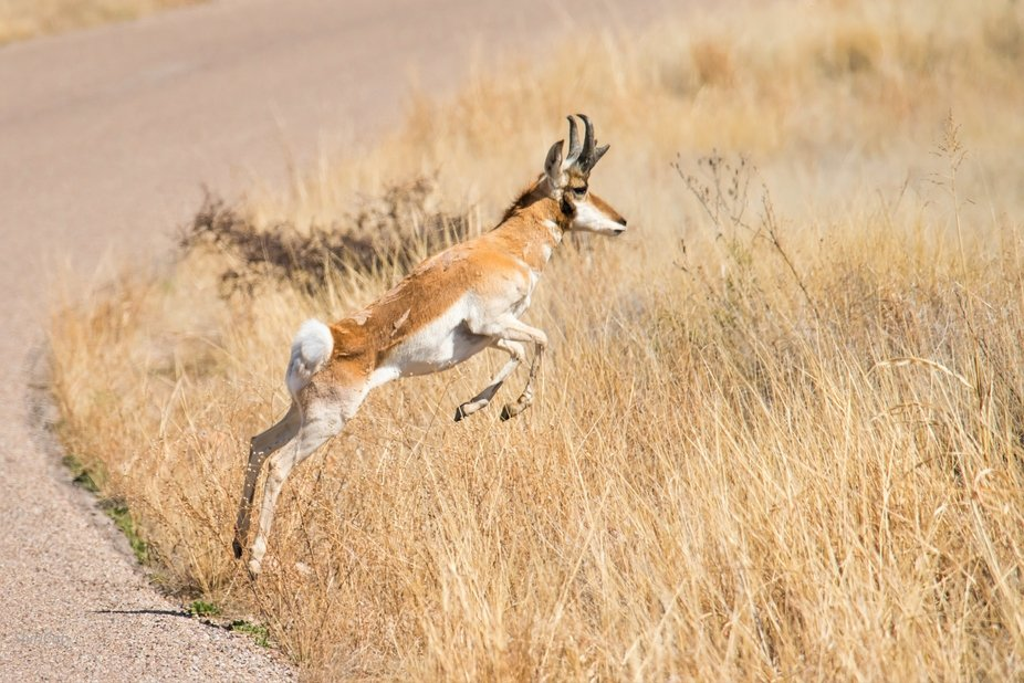 A pronghorn antelope was grazing by itself in a large field of grass.  As I photographed it, it d...