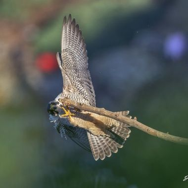 """How often does one observe a mature peregrine Falcon loses its """"footing"""" with those powerful talons?"""