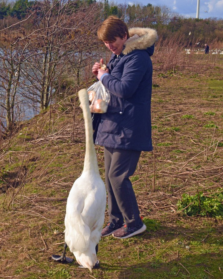 Feeding a swan at QE2 country park.
