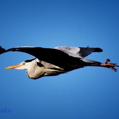 Vip Heron fly past