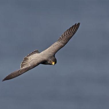 Peregrine Falcon DSC02205