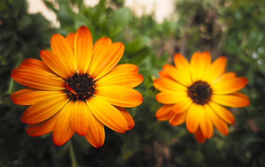 The orange pair