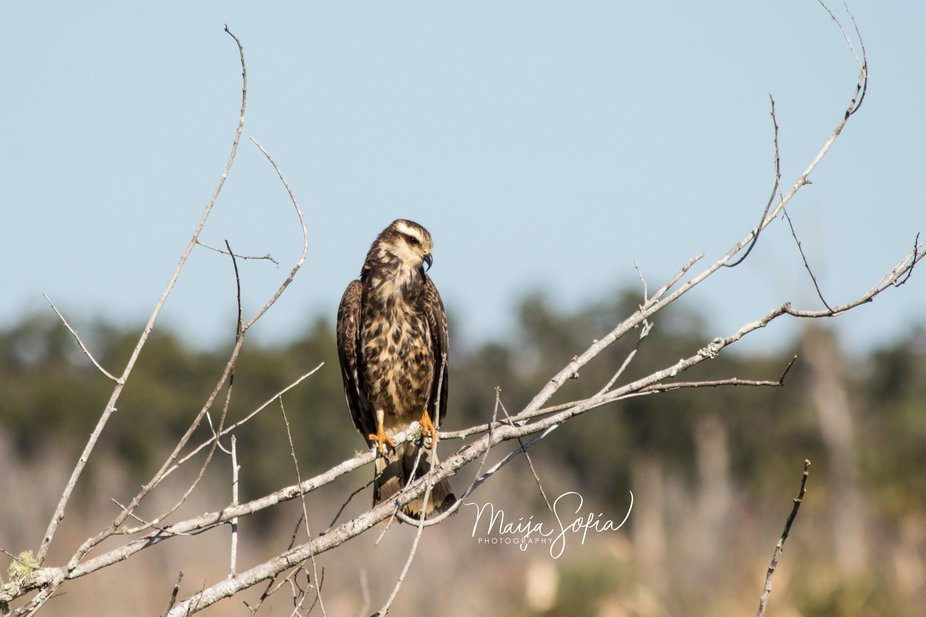 This female Snailkite was sitting here resting and watching for food.  She was very close to the ...