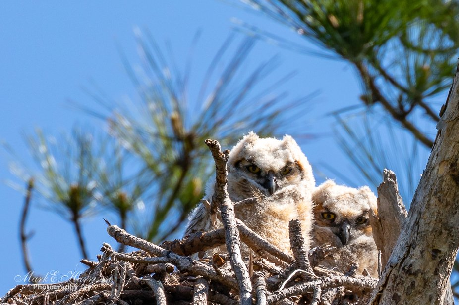 These Great Horned Owlets are approximately 5 weeks old and nesting in Honeymoon State Park.
