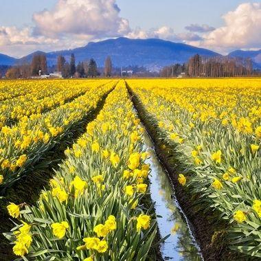 The daffodil fields of Skagit Valley in Washington...