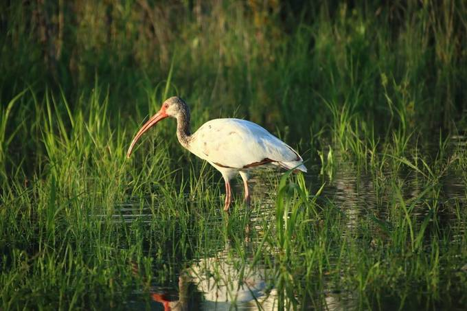 White ibis IMG_1149.JPG