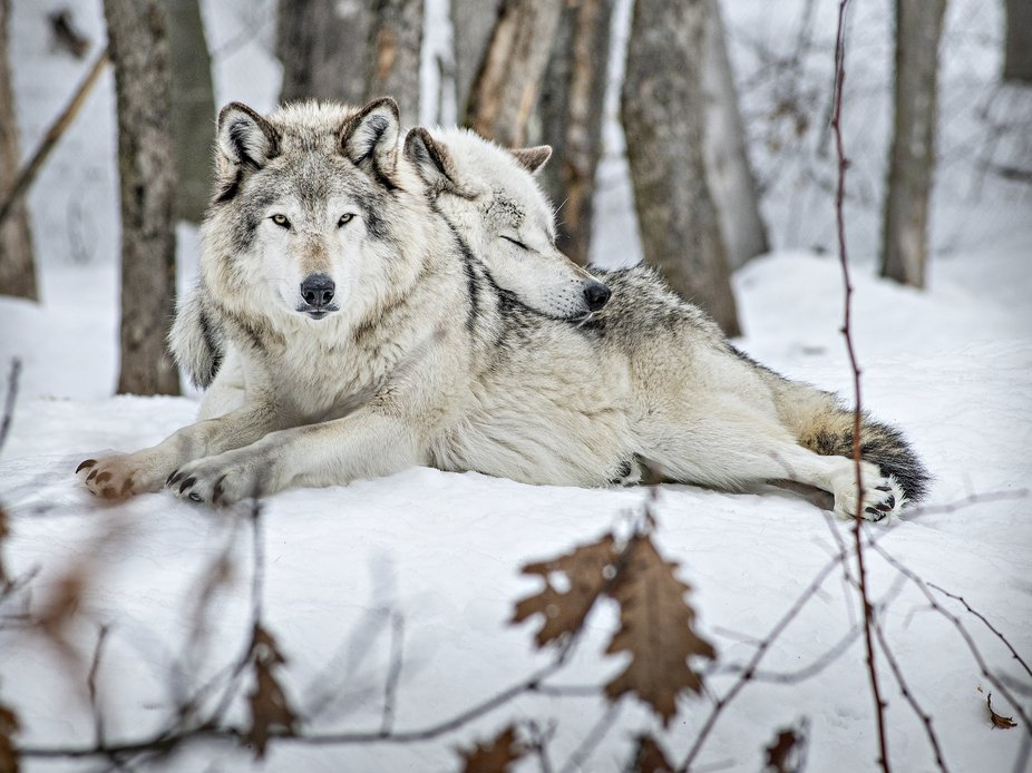 Alpha male and female wolves.