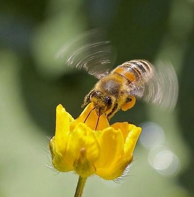 Buzzing Buttercup 2