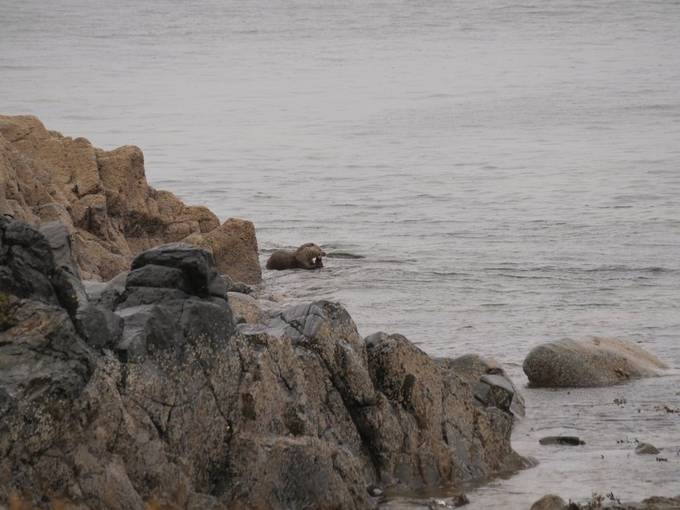 Sea Otter in Arran