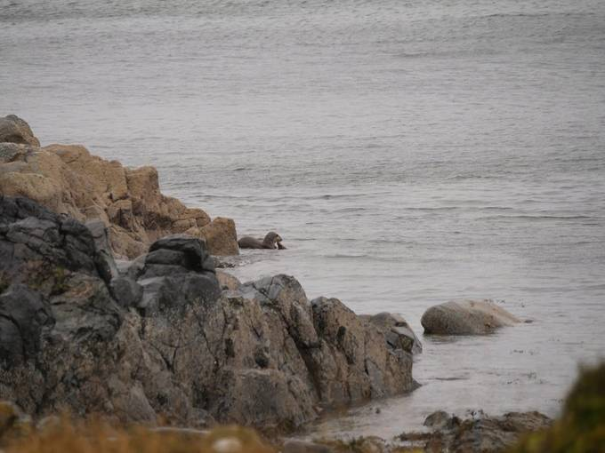 Sea otter of arran
