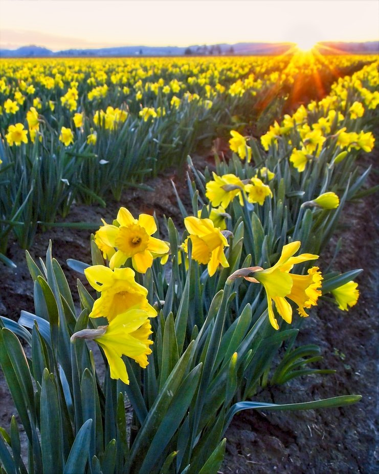 The daffodil fields in the Skagit Valley of Washington are in full bloom. Tulips are not far behind...