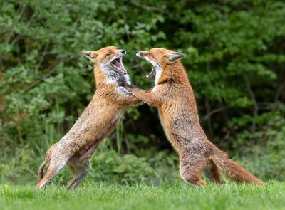 Fighting Foxes take 2