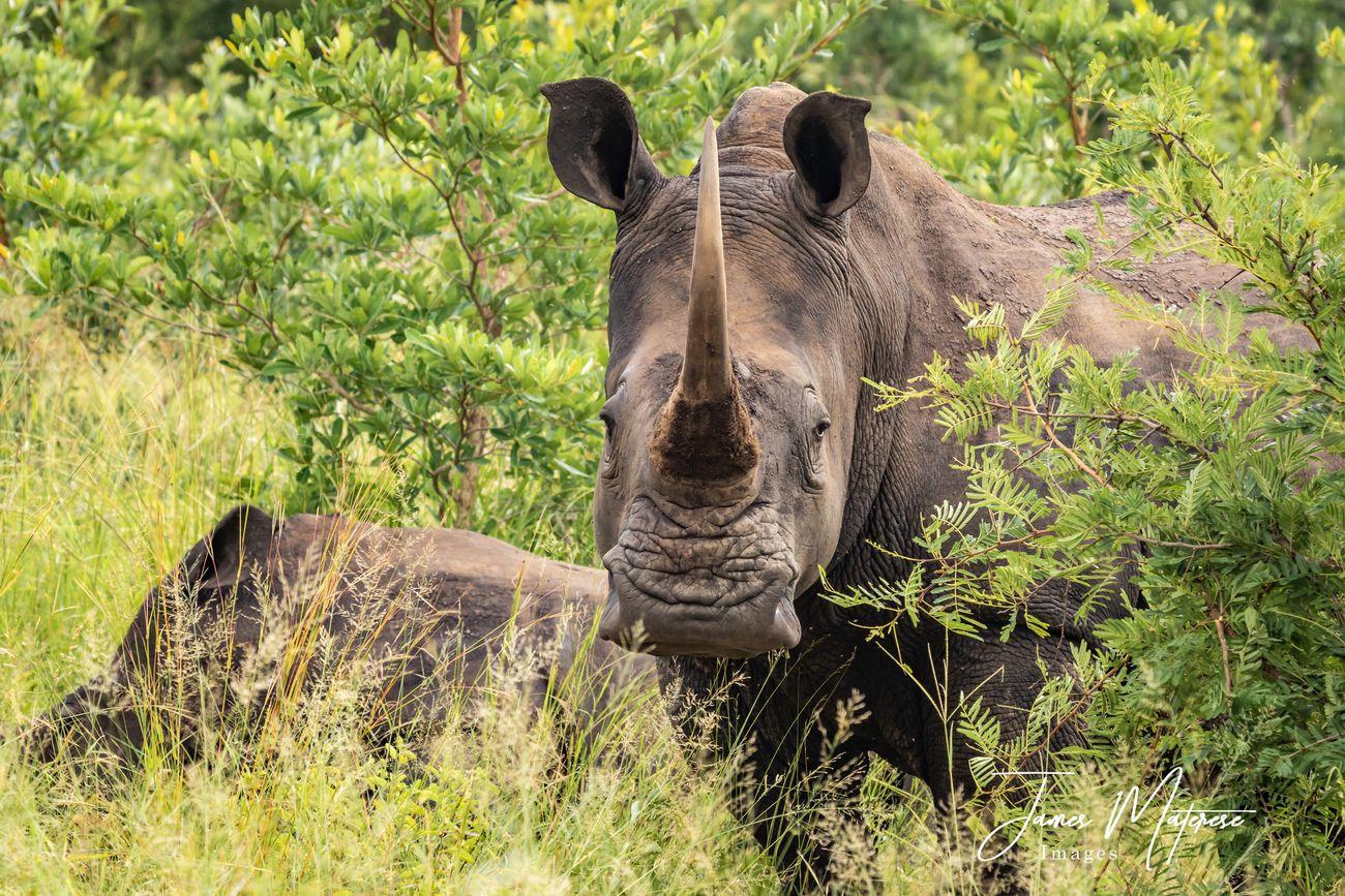 Rhinocerous 2020
