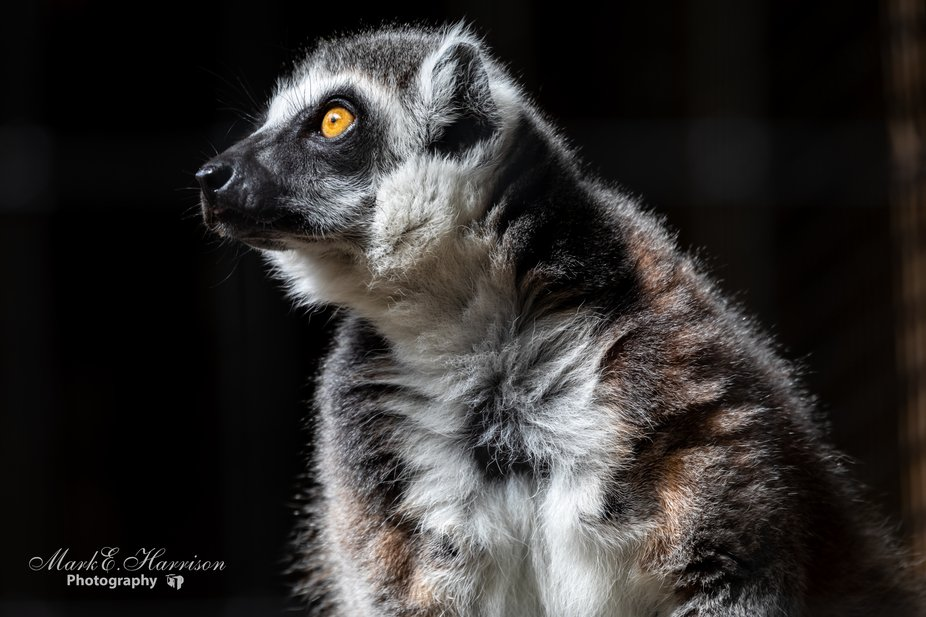I photographed this adorable ring-tailedl lemur while visiting Alligator Farms in St. Augustine, ...