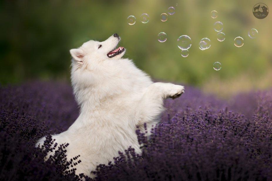 Lavender bubbles